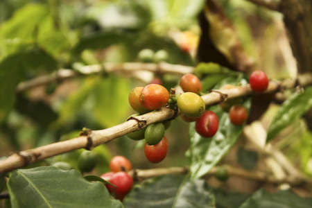 colombian food: Colombian coffee plantation in the Andean valleys. Quimbaya, Quindio, Colombia. Triangle coffee.
