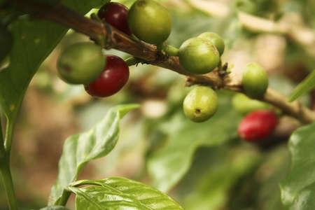 comida colombiana: Plantaci�n de caf� colombiano en los valles andinos. Quimbaya, Quind�o, Colombia. Caf� de tri�ngulo. Foto de archivo
