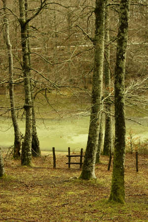 salazar: Beech forest in the Irati jungle or forest, Navarra, northern Spain