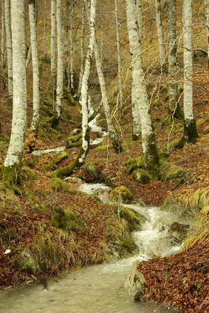 northern spain: Beech forest in the Irati jungle or forest, Navarra, northern Spain