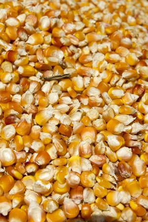 Background of yellow maize corn kernels ready for making popcorn photo