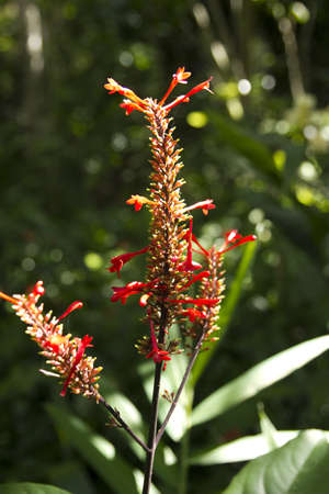 Tropical flower in the Natural Park El Nicho. Escambray Mountains, Cuba photo