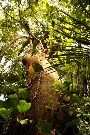 marta: Trunk of a majestic ceiba, tropical tree, Tayrona National Park, Santa Marta range. Colombia