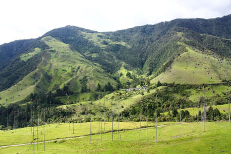 andean: Cocora Valley, Quindio province. Between the mountains of the Cordillera Central in Colombia. Predominates iax palm, Colombia