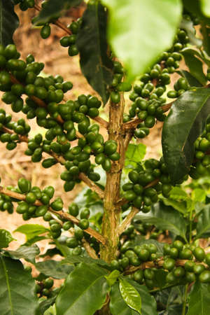 fairtrade: Colombian coffee plantation in the Andean valleys. Quimbaya, Quindio, Colombia. Triangle coffee.