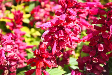 Salvia splendens (Scarlet Sage, Tropical Sage) is a tender herbaceous perennial that is native to Brazil photo