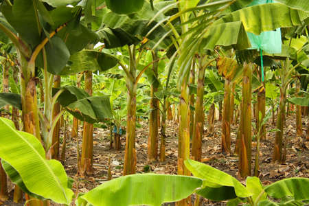 Banana plantation in the province of Montenegro, Colombia. Symbol of the Green Revolution. Stock Photo