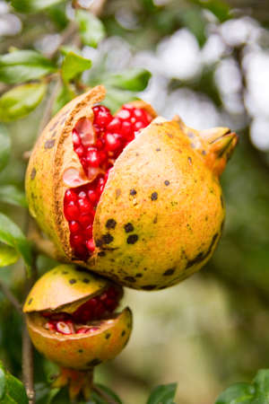 Open pomegranate fruit on tree photo