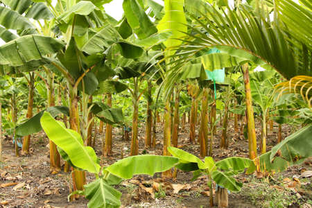 Banana plantation in the province of Montenegro, Colombia. Symbol of the Green Revolution. Stock Photo - 12384504