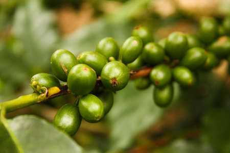 Colombian coffee plantation in the Andean valleys  Quimbaya, Quindio, Colombia  Triangle coffee