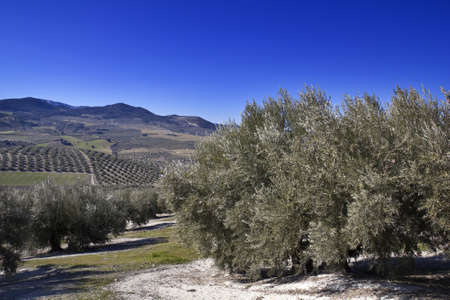 Olive tree in the province of Granada, Andalucia, Spain  photo