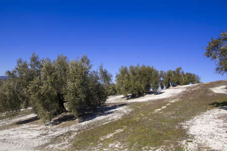 Olive trees in the province of Granada, Andalusia, Spain. photo