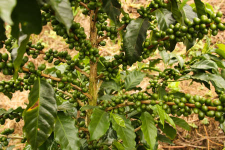 fruit trade: Colombian coffee plantation in the Andean valleys. Quimbaya, Quindio, Colombia. Triangle coffee.