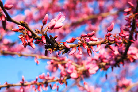 Prunus is a genus of trees and shrubs, which includes the plums, cherries, peaches, apricots and almonds   photo