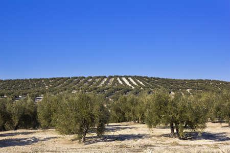 arboleda: Panorama de la provincia de Sevilla, Andalucía con árboles de oliva, España