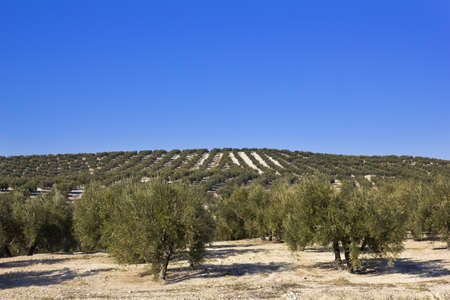 Panorama of the province of Seville, with olive trees  Andalusia, Spain photo