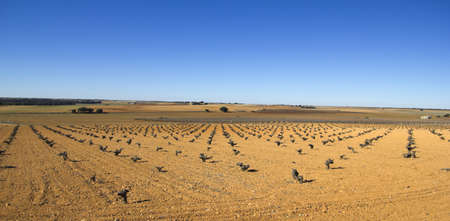 Panorama of fields with vineyards in Castilla la Mancha, Spain  Mediterranean landscape  photo