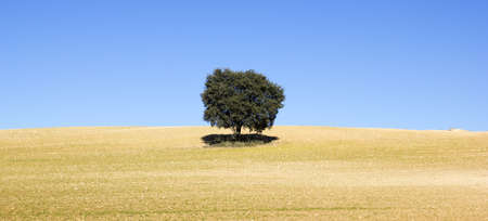 Field of Castilla la Mancha  Land of cereal with a tree giving shade  photo
