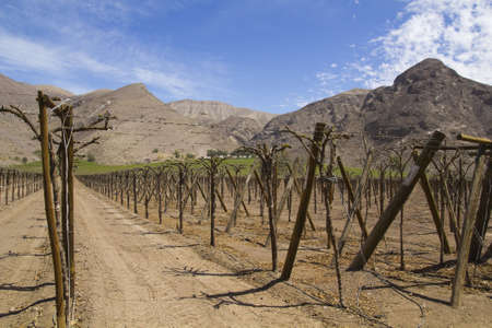 Vineyard cultivation for fruit and wine, in the inhospitable mountains of the Andes  Chile photo