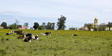 grazing land: Herd of cows resting in Uruguay Uruguay is one of the leading meat producers in the world, and is its main industry