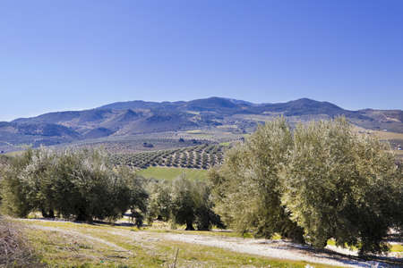 Panorama of the province of Granada, with olive trees  Andalusia, Spain photo