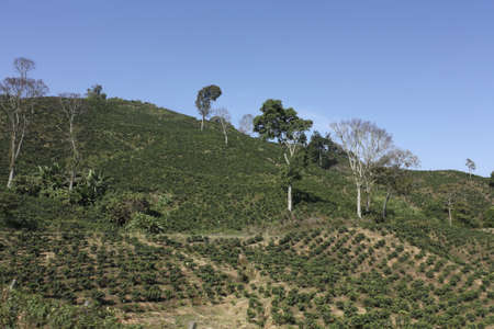 The Coffee Belt, also called Coffee Triangle is a topographic region of Colombia, within its extension by the departments of Caldas, Risaralda, Quindio, Valle del Cauca, Antioquia and Tolima  photo
