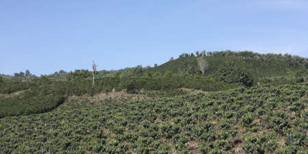 colombian: The Coffee Belt, also called Coffee Triangle is a topographic region of Colombia, within its extension by the departments of Caldas, Risaralda, Quindio, Valle del Cauca, Antioquia and Tolima  Stock Photo