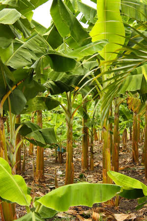 monoculture: Banana plantation in the province of Montenegro, Colombia  Symbol of the Green Revolution