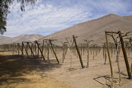 Vineyard cultivation for fruit and wine, in the inhospitable mountains of the Andes  Chile Stock Photo - 17595361