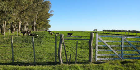 Cattle in a paddock, in the Uruguayan pampas  Carmelo, Rio Negro  Uruguay  photo