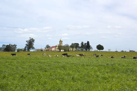 Herd of cows resting in latin american pampas Is its main industry  photo