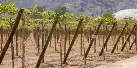 andean: Vineyard cultivation for fruit and wine, in the inhospitable mountains of the Andes  Chile