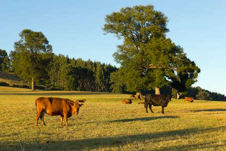 남부 칠레 Araucanía 안데스의 분야에서 방목하는 소