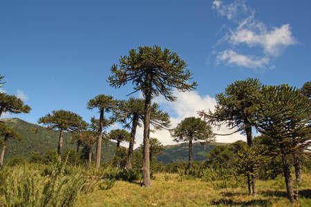 バイオバイオ公園チリでアラウカリア アラウカリア araucana 木 写真素材