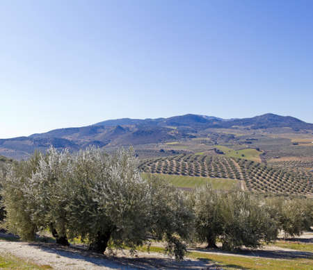 Olive orchards in the Andalusia region of Spain. photo