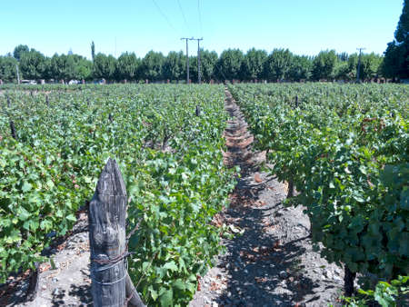 america countryside: Growing grapes for Industrial use: wine. Fields of vineyards in Puente Alto  Maipo Valley, Chile, South America.