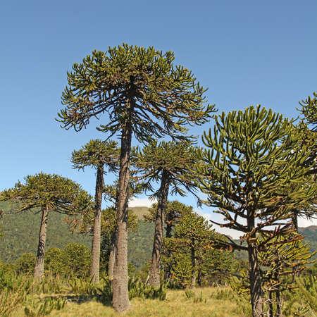 Araucaria (Araucaria araucana) trees in Bio bio Park (Chile) photo