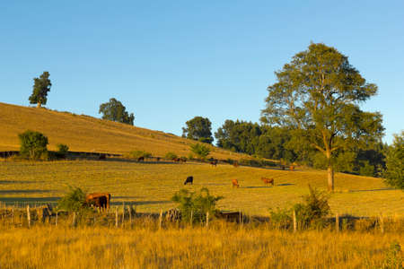 pasturage: Cows grazing in the fields of southern Chile (Araucanía Andean) Stock Photo