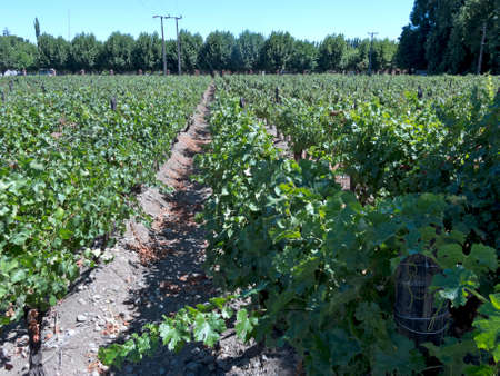 Fields of vineyards in central Chile. Growing grapes for industrial use: wine.  The Chilean wine industry is the 7th world producer and the biggest exporter of South America. Stock Photo