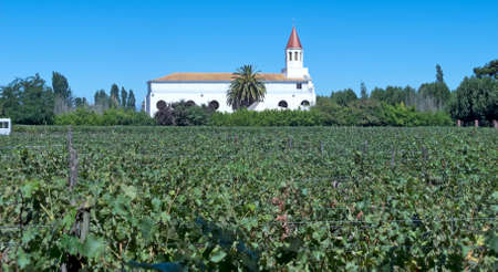 exporter: Fields of vineyards in central Chile. Growing grapes for industrial use: wine.  The Chilean wine industry is the 7th world producer and the biggest exporter of South America. Stock Photo