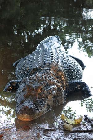 lurk: Alligator found in the Bolivian Amazon Rainforest. Caiman (Caimaninae) at Madidi National Park, Bolivia Stock Photo