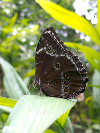 eyespot: Owl butterfly, Caligo sp., in Amazon rainforest. Madidi Park, La Paz Region. Bolivia. Stock Photo