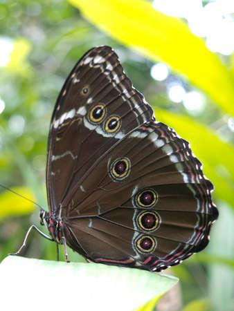 la paz: Owl butterfly, Caligo sp., in Amazon rainforest. Madidi Park, La Paz Region. Bolivia. Stock Photo