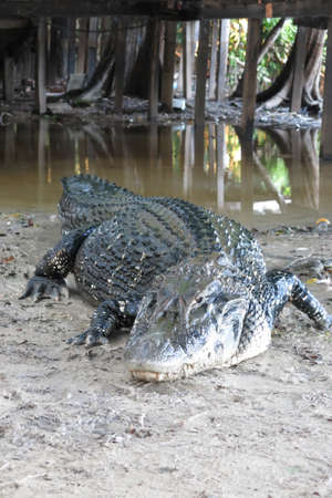 alligator eyes: Caiman Caimaninae at Madidi National Park, Bolivia