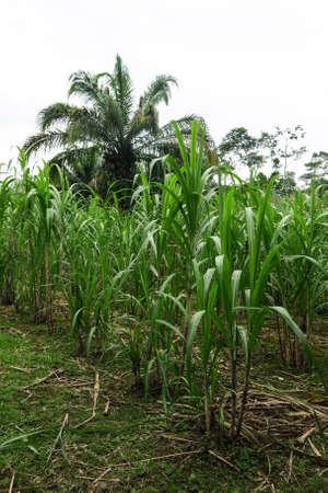 tropics: Sugar cane field near a sugar mill. Bolivian tropics. Beni department. Stock Photo