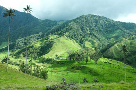 colombia: Cocora Valley, Quindio province. Between the mountains of the Cordillera Central in Colombia. Predominates iax palm, Colombias national tree.