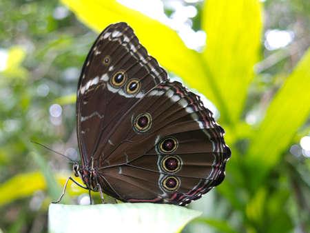 roosting: Owl butterfly, Caligo sp., in Amazon rainforest. Madidi Park, La Paz Region. Bolivia. Stock Photo