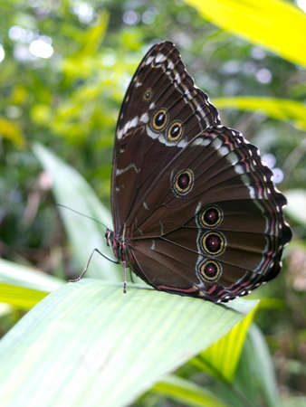 amazon rainforest: Owl butterfly, Caligo sp., in Amazon rainforest. Madidi Park, La Paz Region. Bolivia. Stock Photo