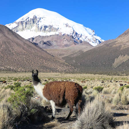 sajama: The Andean landscape with herd of llamas, with the Sajama volcano on background.