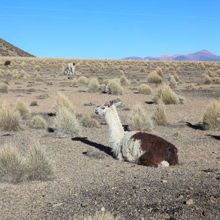 The Andean landscape with herd of llamas, with the Sajama volcano on background.